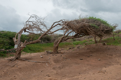 Dead trees near Shipwreck Beach in Lanai, Hawaii