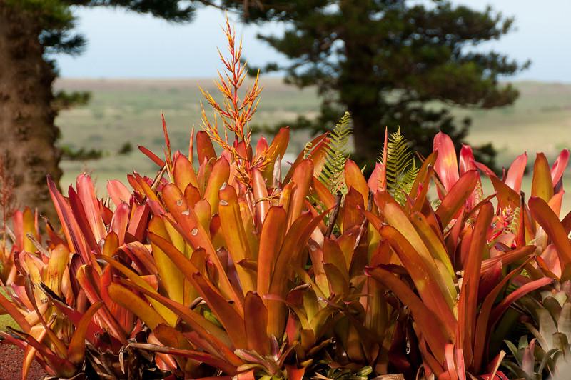 Flowering plants in Lanai, Hawaii