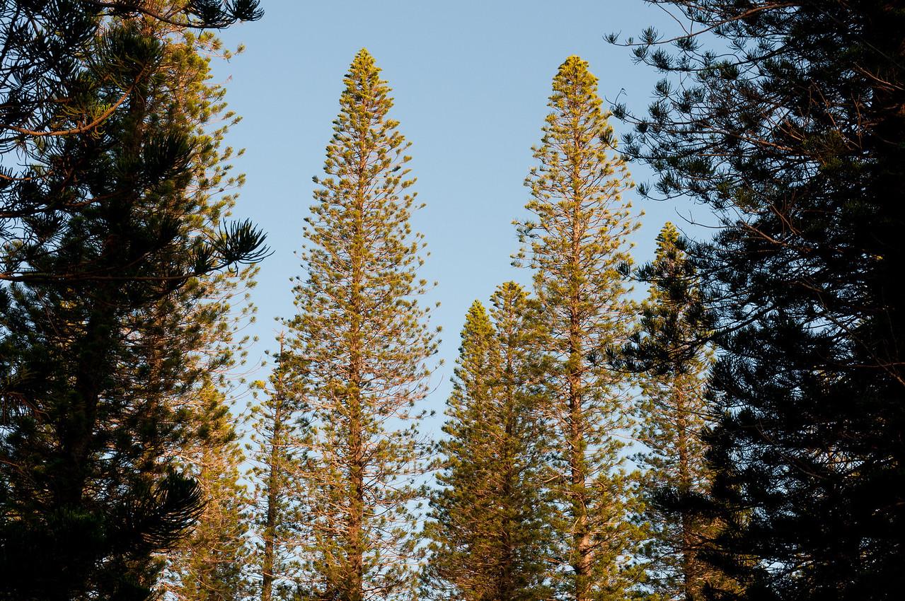 Pine trees in Lanai, Hawaii