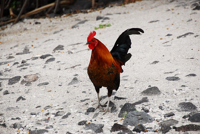 Rooster in Puʻukoholā Heiau National Historic Site, Hawaii