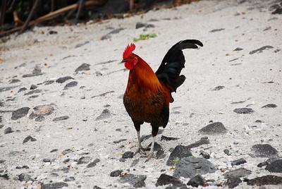 Rooster in Puʻukoholā Heiau National Historic Site, Hawaii