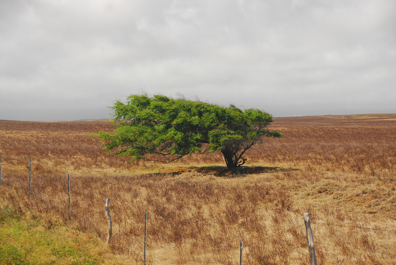 Wind-blown tree  in South Point, Hawaii