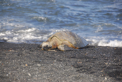 Turtle crawling in South Point, Hawaii