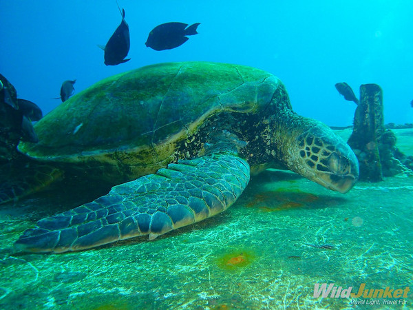 an enormous green turtle on the shipwreck