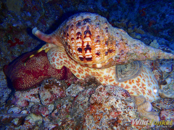 the triton trumpet snail wrapping its body around the sea star
