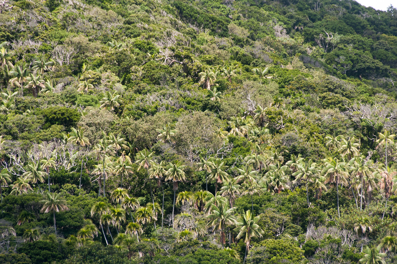 Rainforest canopy in Lord Howe Island