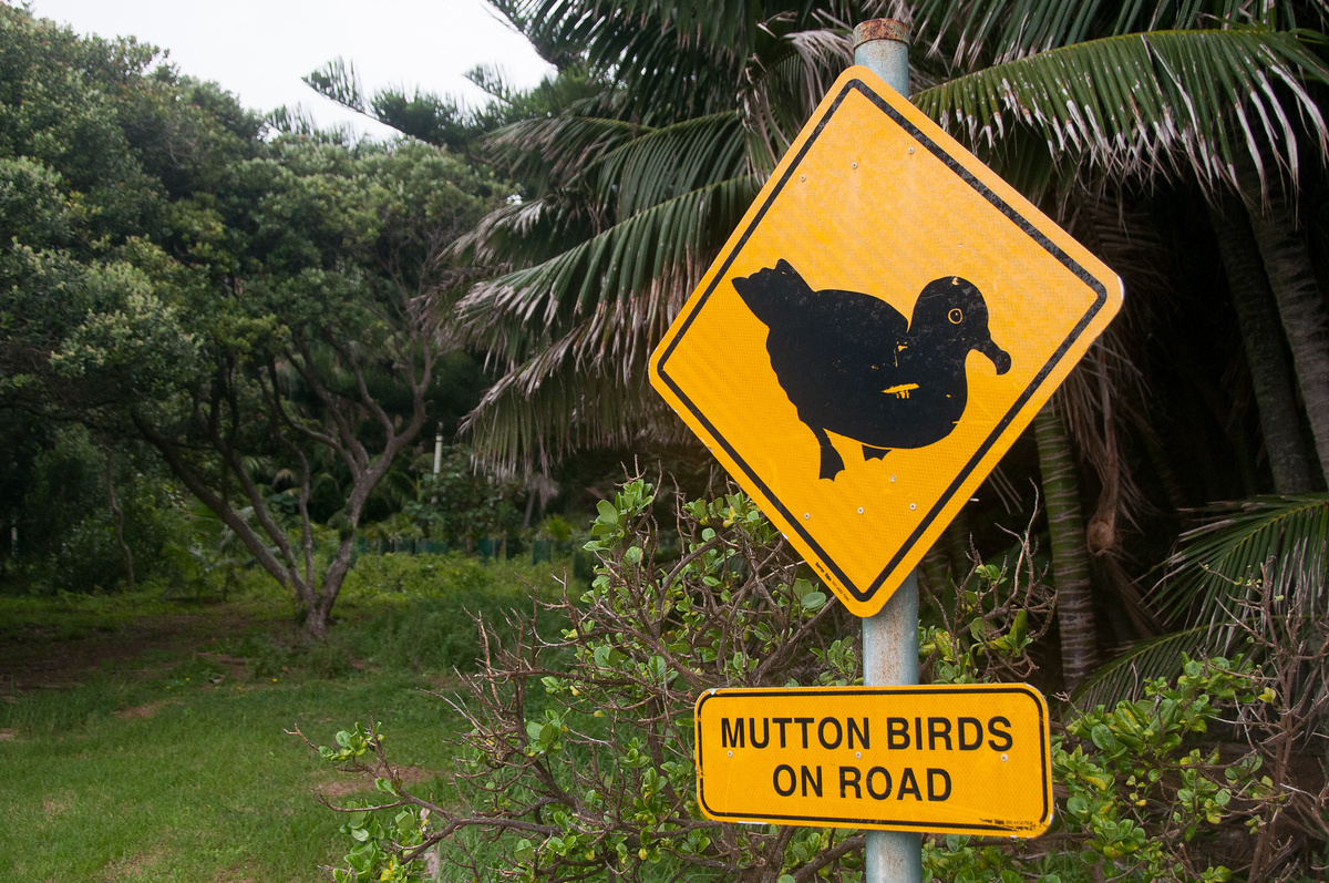 Mutton Bird Crossing on Lord Howe Island