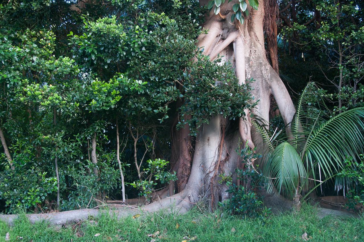Tree in Lord Howe Island