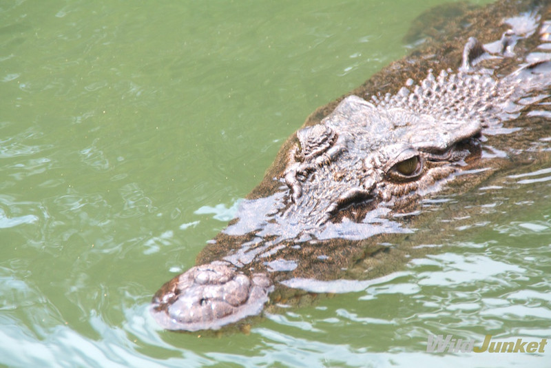 A crocodile at Ngerdoch River