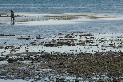 Foraging at low tide - New Caledonia