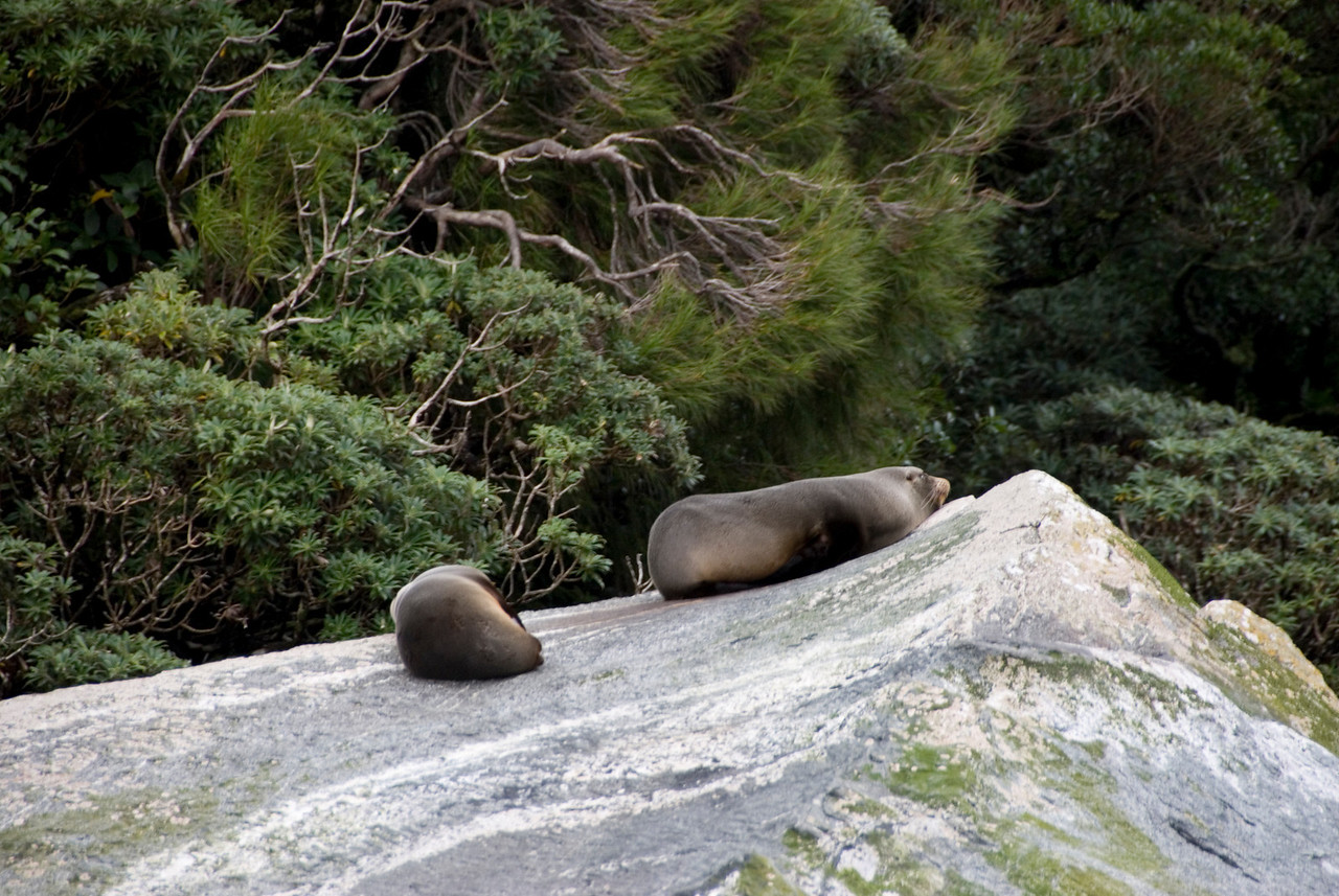 Sea Lions at Milford Sound