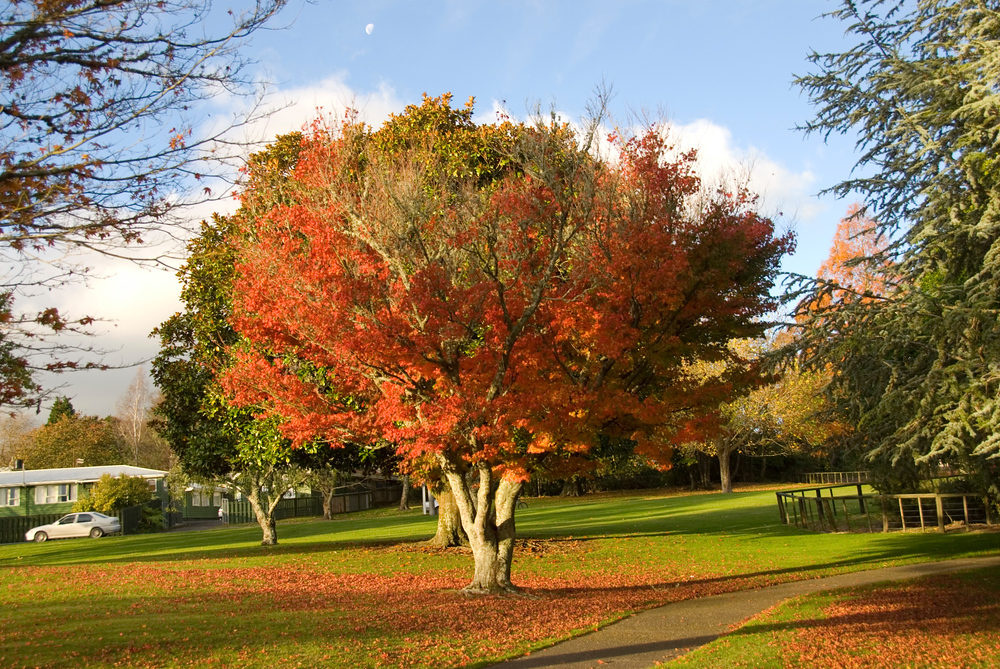 Tree changing colors, Rotorua, New Zealand