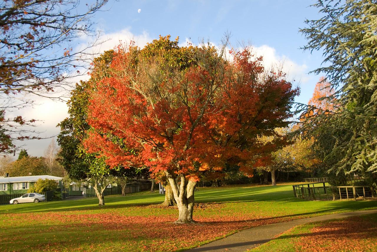 Rotorura City Park Tree - New Zealand