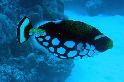Trigger Fish - Palau