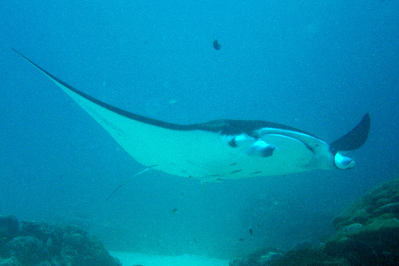 Manta Ray 2 - Palau