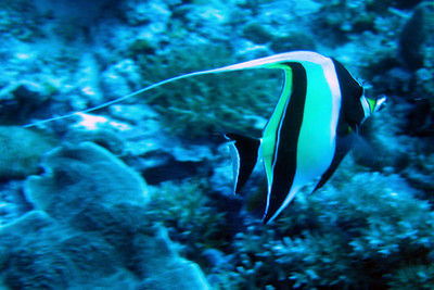 Moorish Idol - Palau