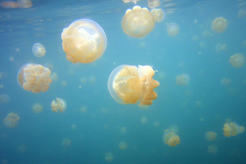 Jellyfish 1 - Palau