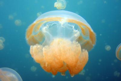 Jellyfish 3 - Palau