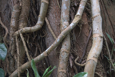 Tree Roots - West New Britain, Papua New Guinea