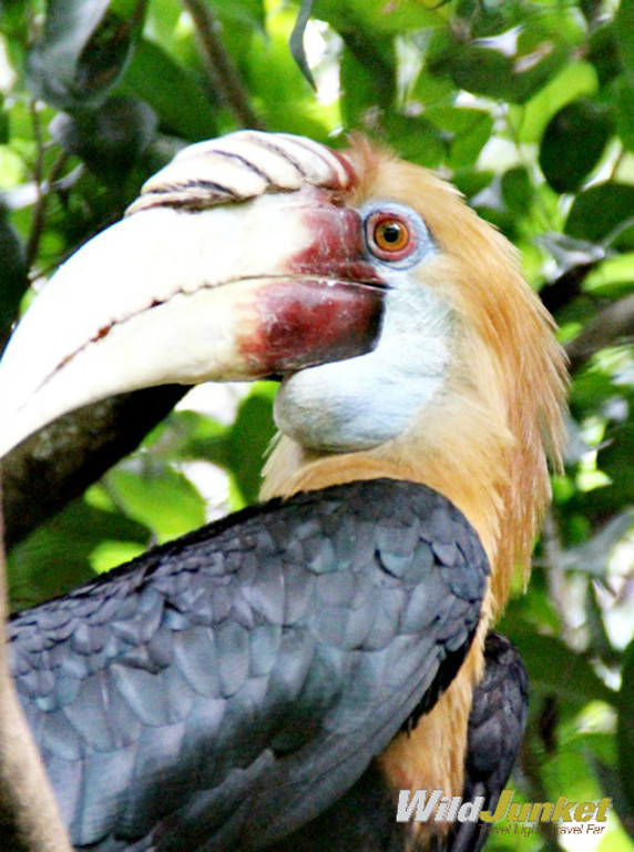 A Papuan hornbill at Port Moresby Nature Park