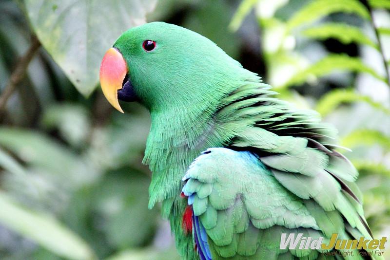 An Electus parrot