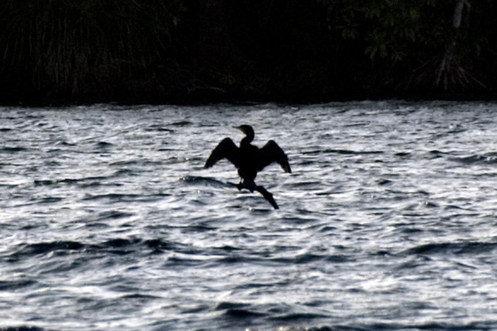 Bird on branch, Rennell Island, Solomon Islands