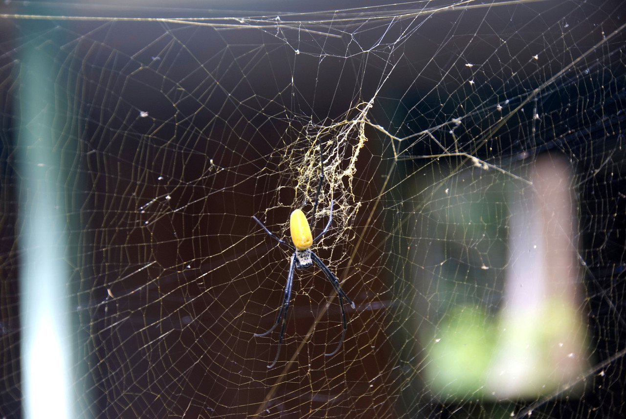 Gianormous Spider, Rennell Island - Solomon Islands