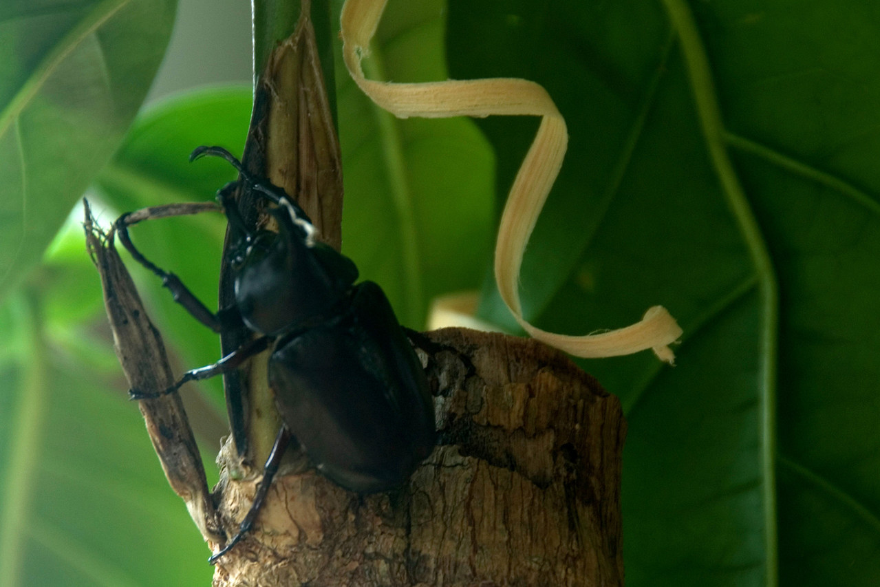 Gianormous Beetle, Rennell Island - Solomon Islands