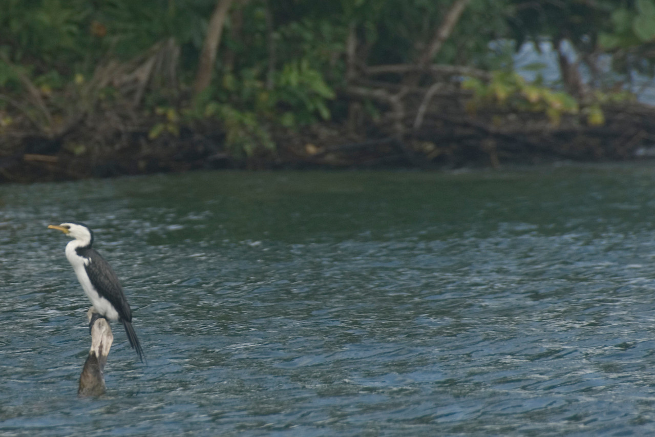 Bird on a Log, Rennell Island - Solomon Islands
