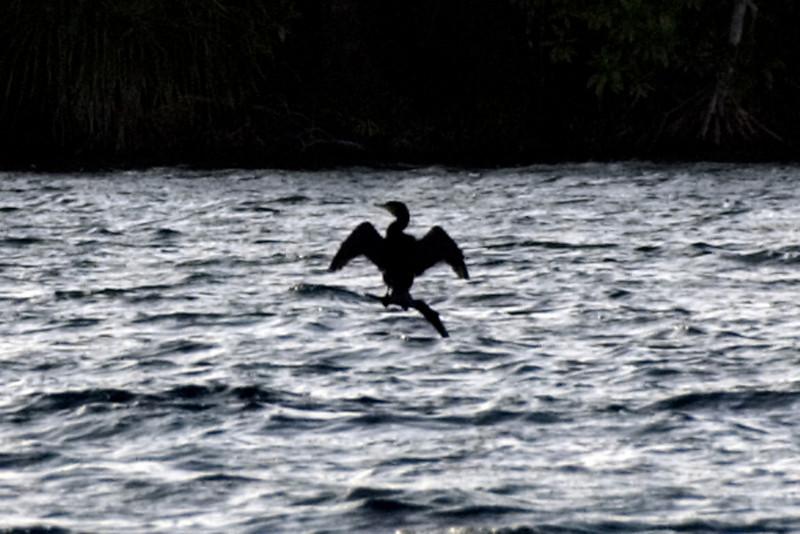 Bird Profile, Rennell Island - Solomon Islands