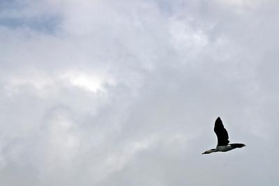 Bird in Flight - Rennell Island
