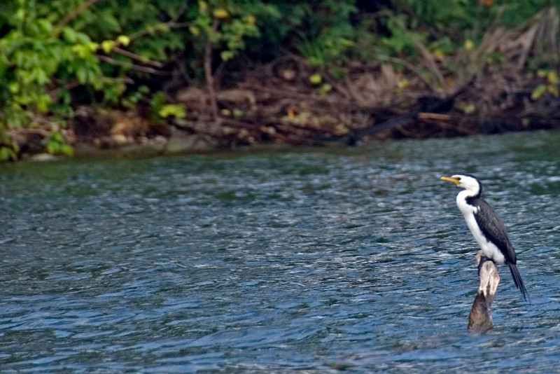 Bird On Post - Rennell Island