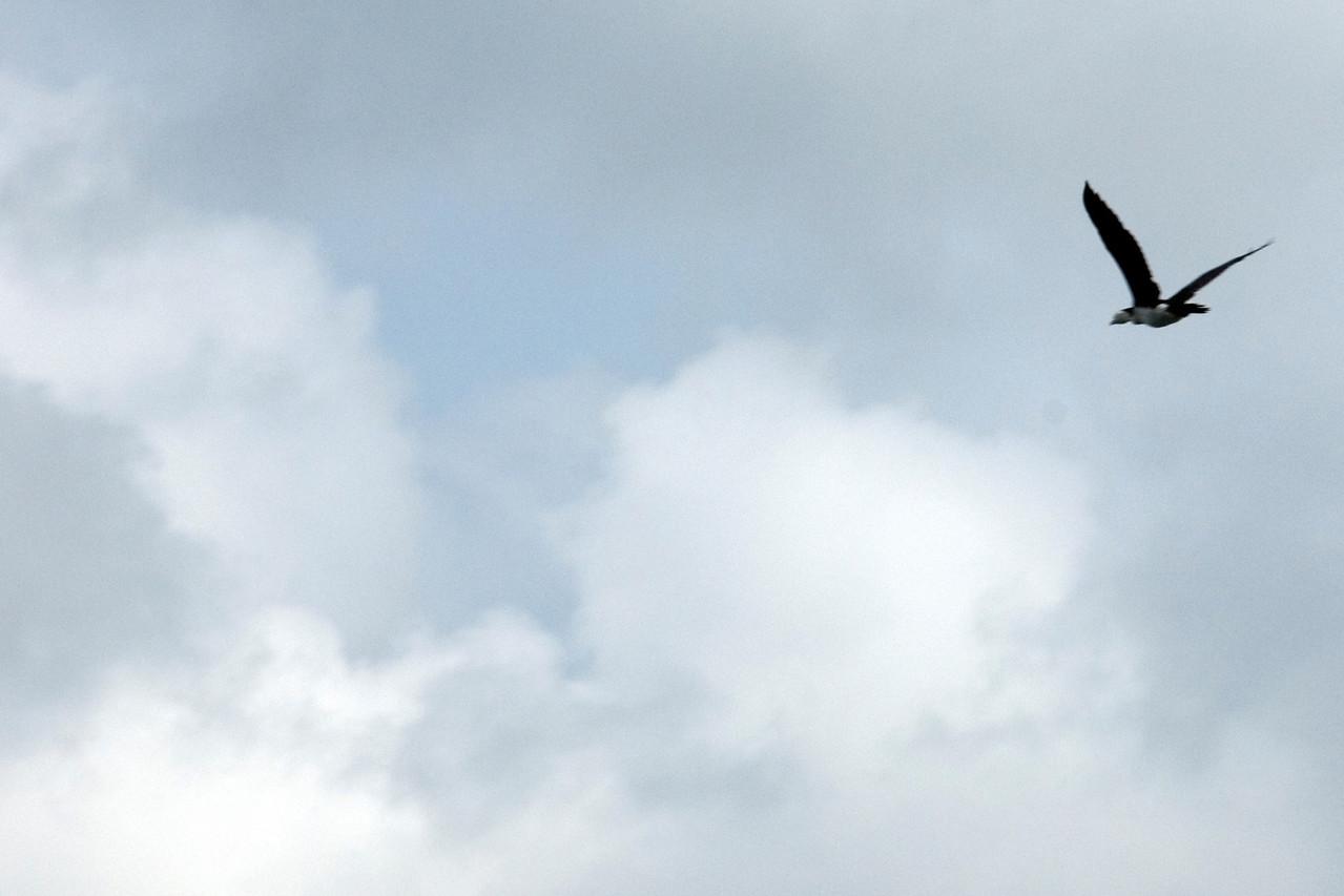 Solo Bird, Rennell Island - Solomon Islands