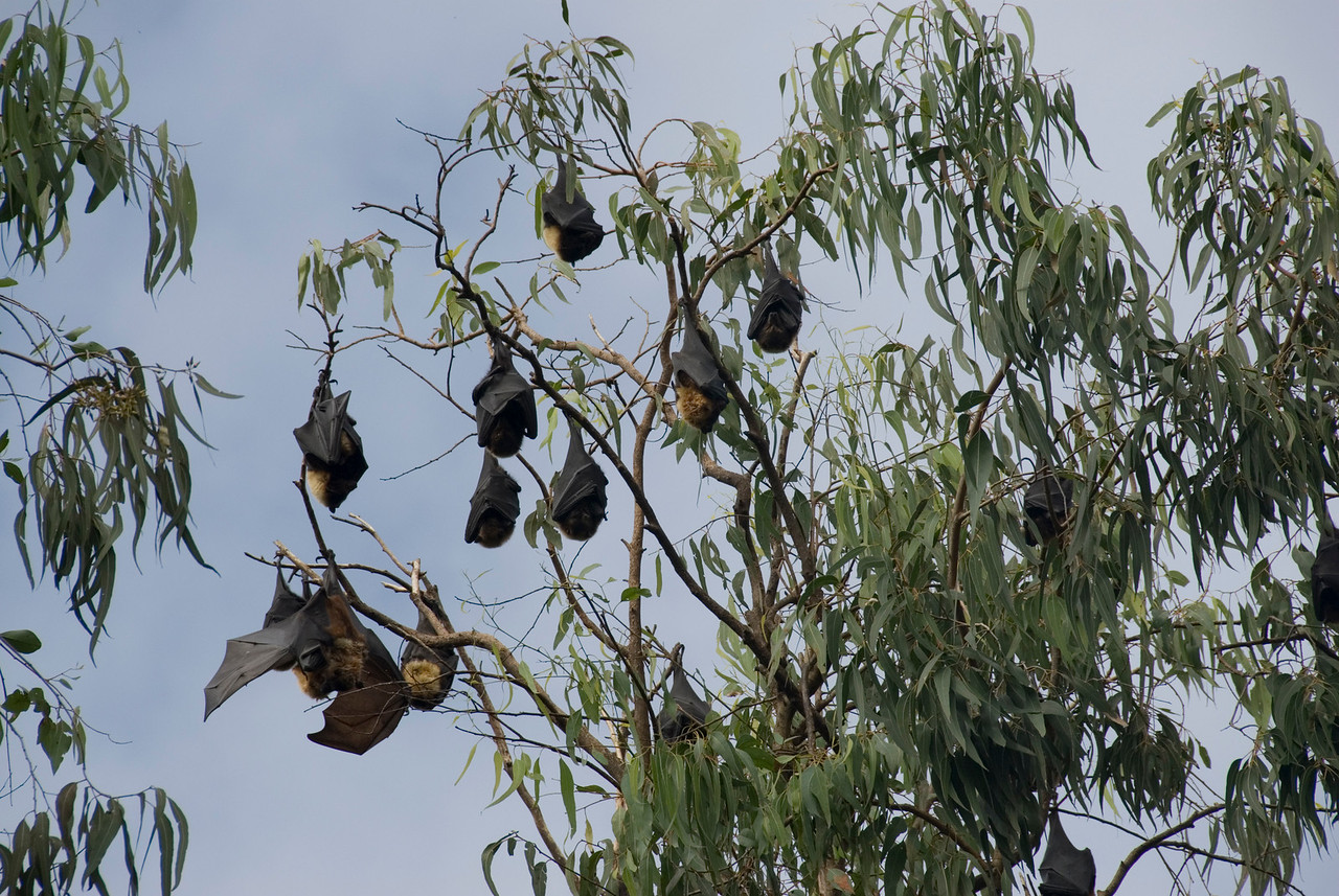 Flying Foxes - Tonga