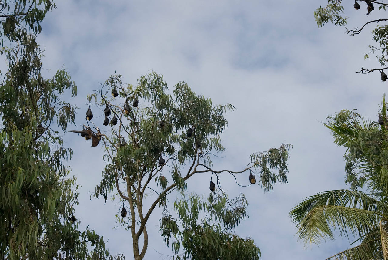 Flying Foxes in Tree - Tonga