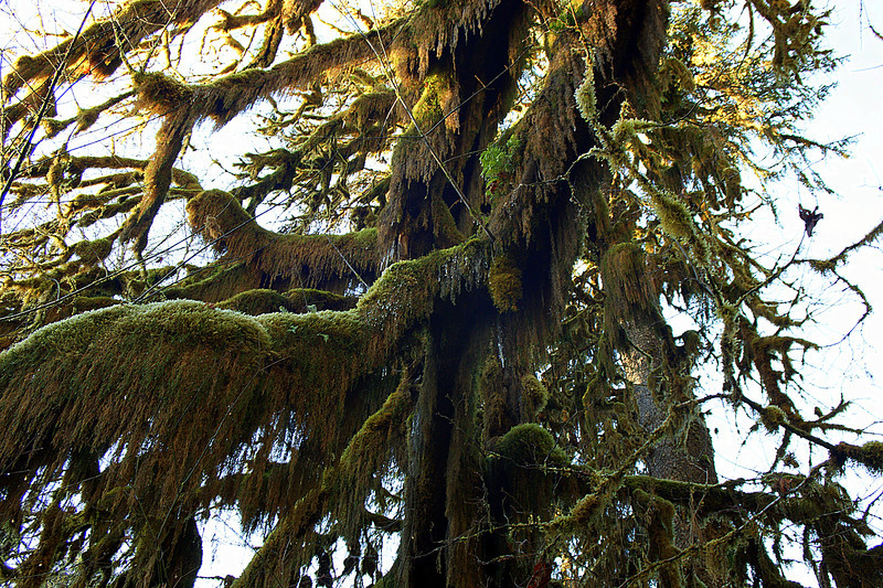 Photo By Bob Bodnar..........................Hoh Rain Forest, Olympic National Park