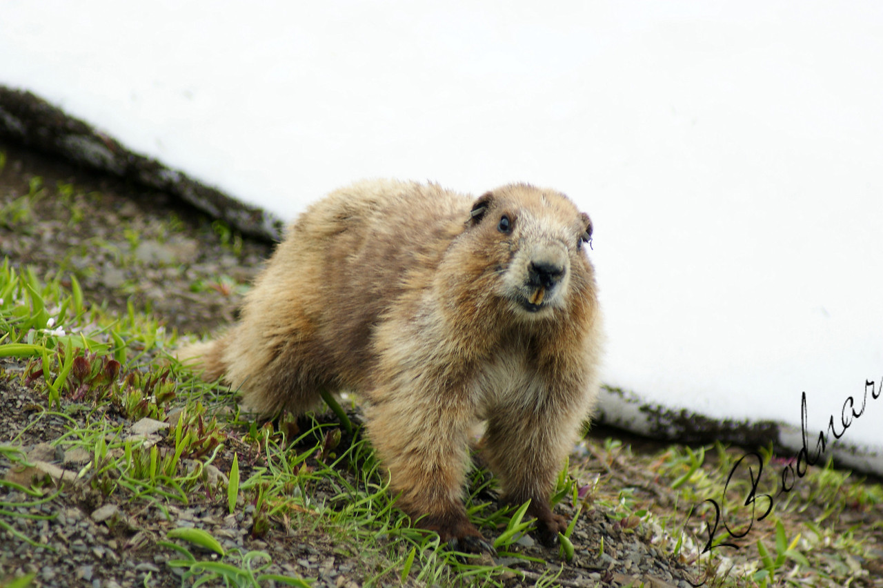 Photo By Bob Bodnar.............Marmot on Hurricane Ridge