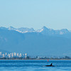 On our whale watching trip we had to sail all the way to Vancouver to find the killer whales.  That's the Vancouver skyline in the background.