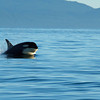 "This is known as ""porpoising"" when the killer whale leaps out of the water like this"