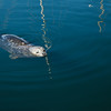 A cute harbor seal