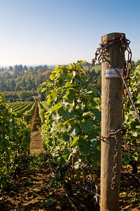 Rows of Pinor Noir grape vines