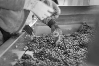 Removing leaves and young grapes from the batch