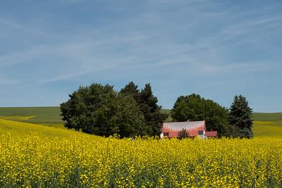 Canola Fields in the Palouse