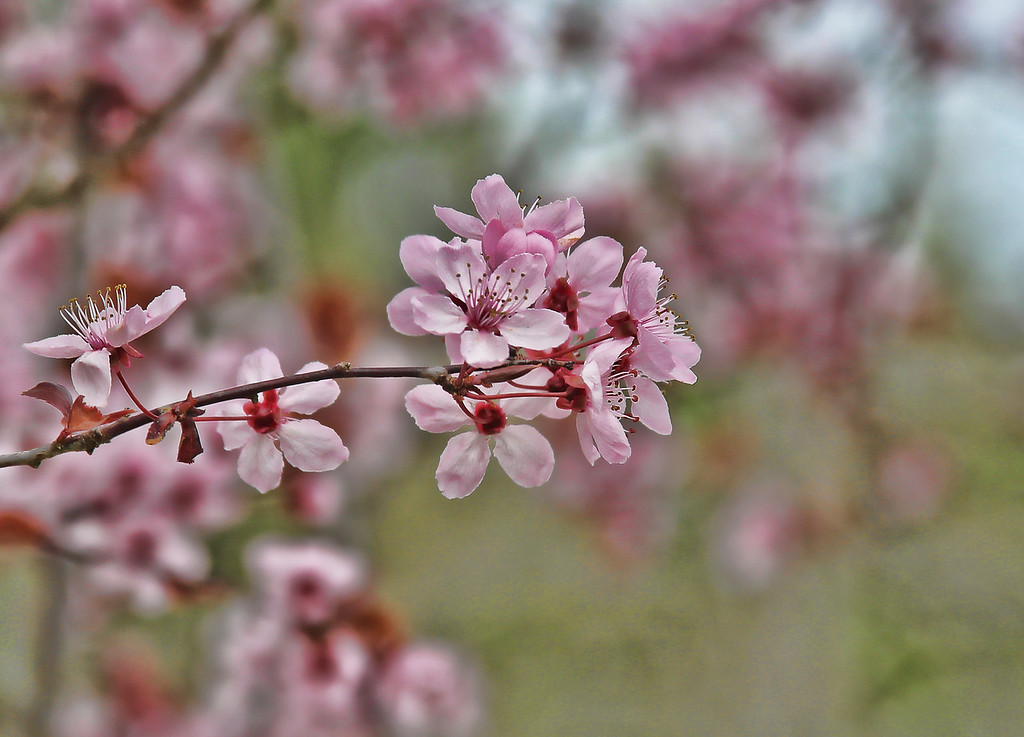 Plum Blossoms 32812