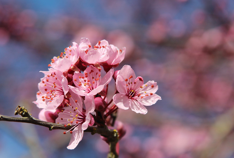Plum Blossoms 12