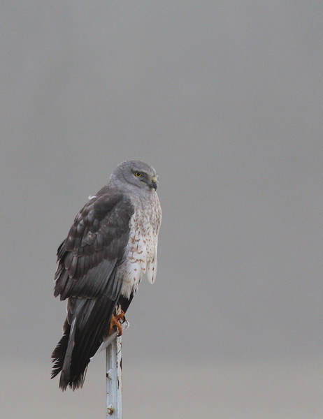 Hawk on gray