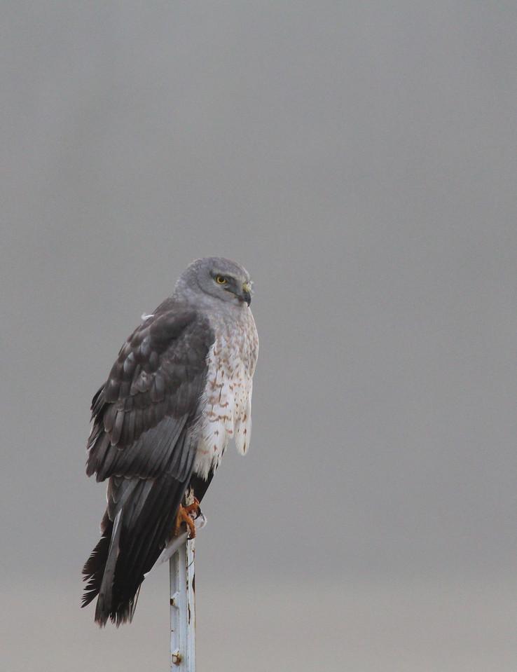 Hawk on gray