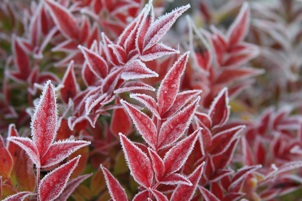 frozen red 7