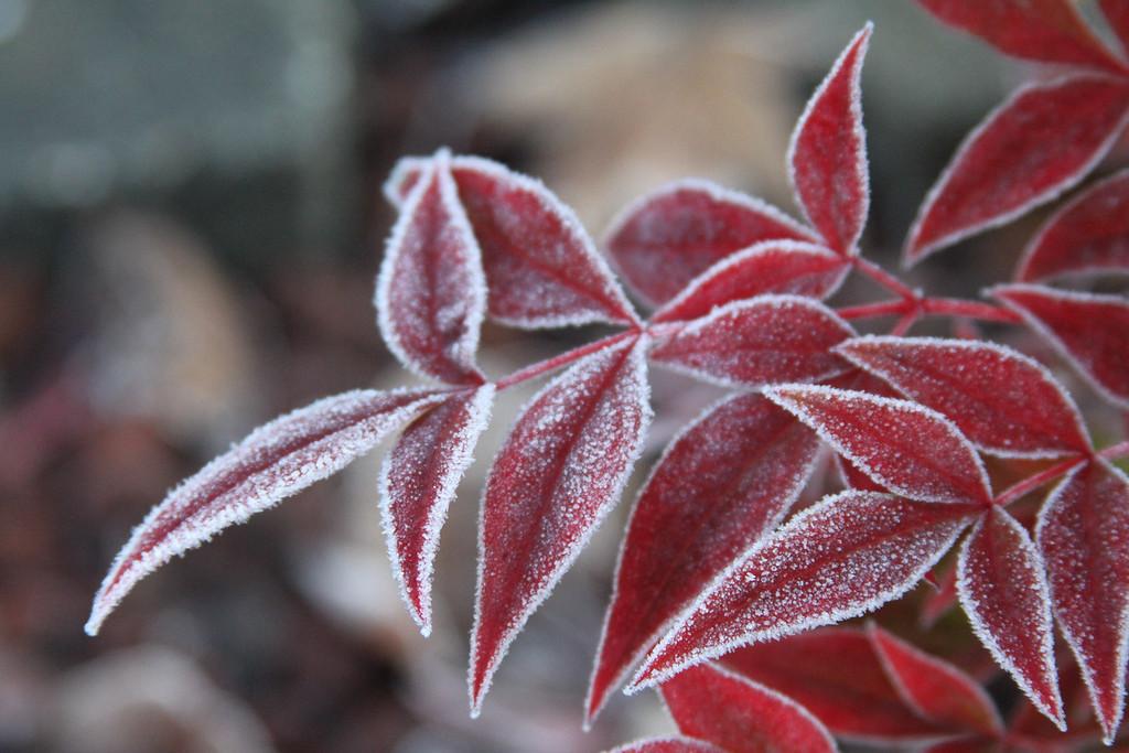 frozen red 2