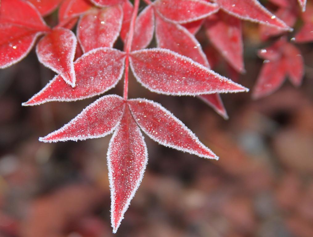 frozen red 3